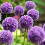 Allium-his-excellency2.jpg