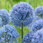 allium-caeruleum-true-blue.jpg