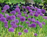 allium-purple-sensation-5_grande.jpg